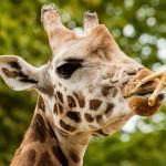 giraffe-center